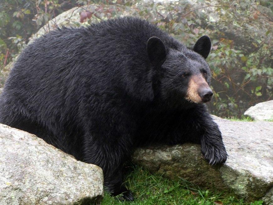 Fat Bear before winter hibernation