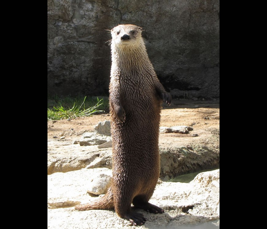 Otter at Grandfather Mountain