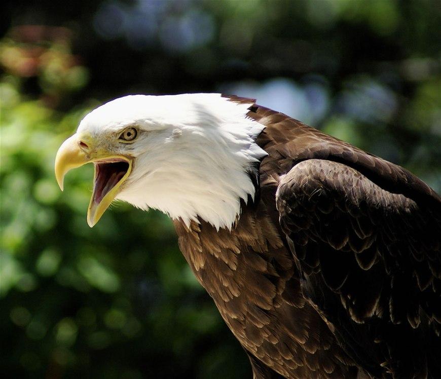 Eagle at Grandfather Mountain, North Carolina