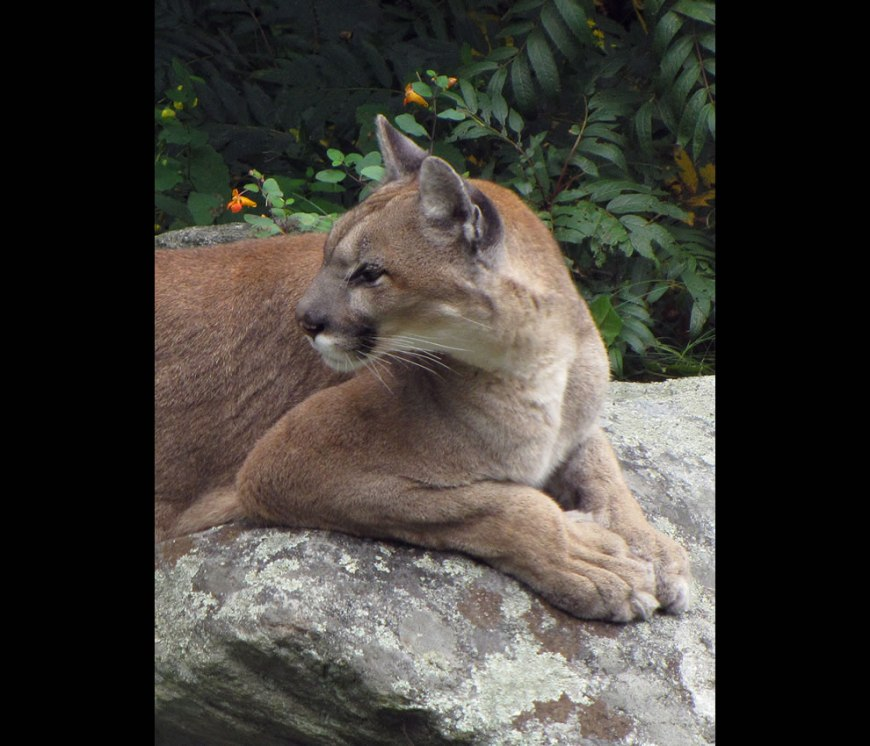 Nikita Portrait of the female cougar on Grandfather Mountain