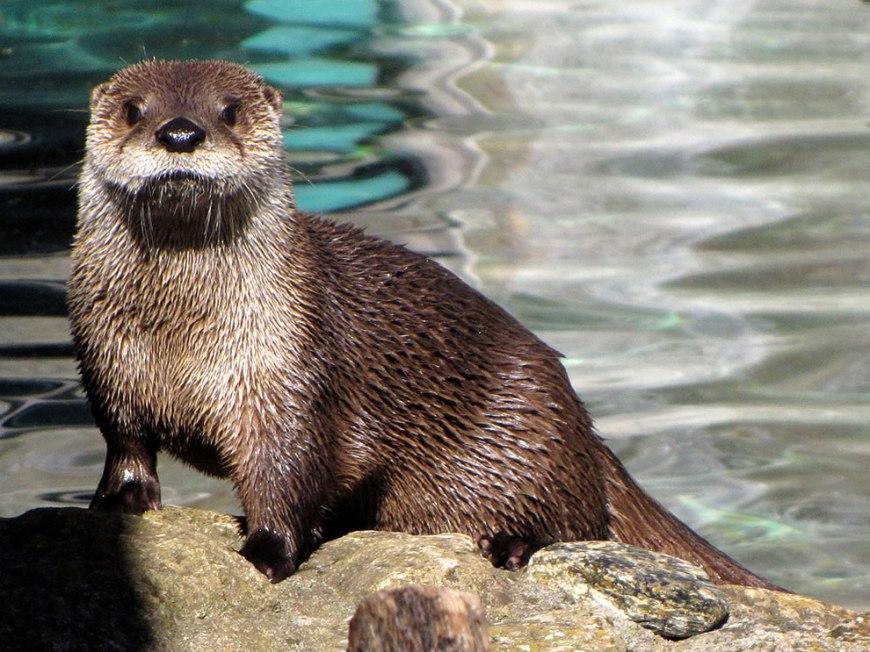 Otter Portrait Grandfather Mountain