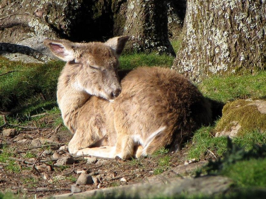 Shhh! Sleepy deer on Grandfather Mountain
