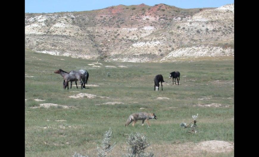 A coyote patrols through a prairie dog town while feral horses graze
