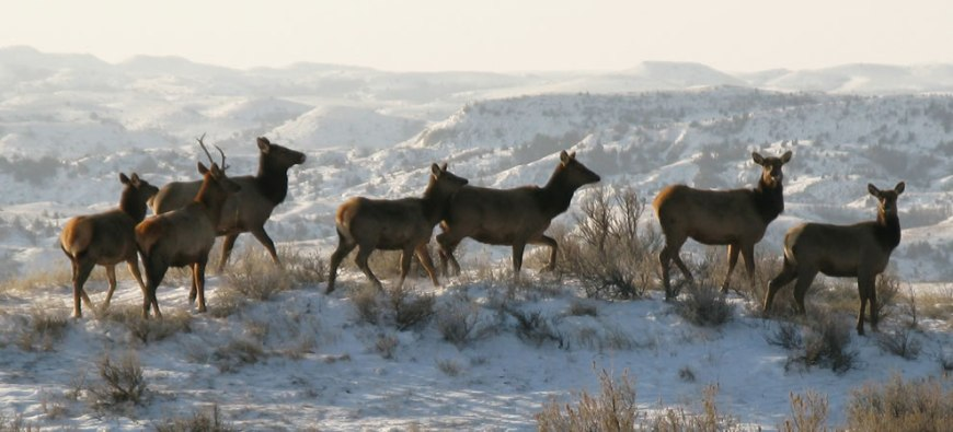 A small group of elk on the Ridgeline Nature Trail at TRNP