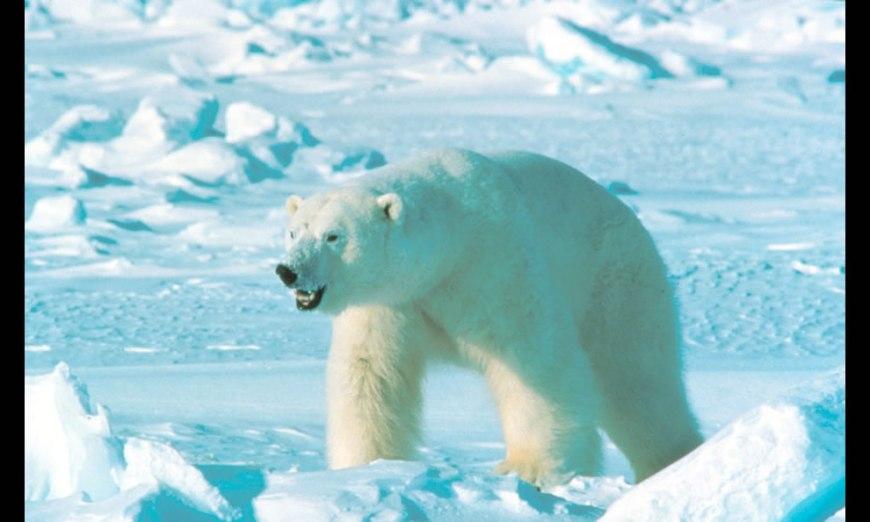 Alaska polar bear in the wild