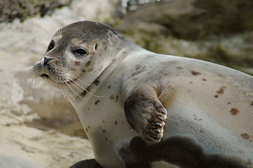 Arctic Seehund -- German seal