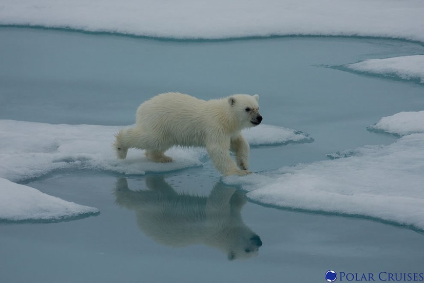 cub hopping over ice