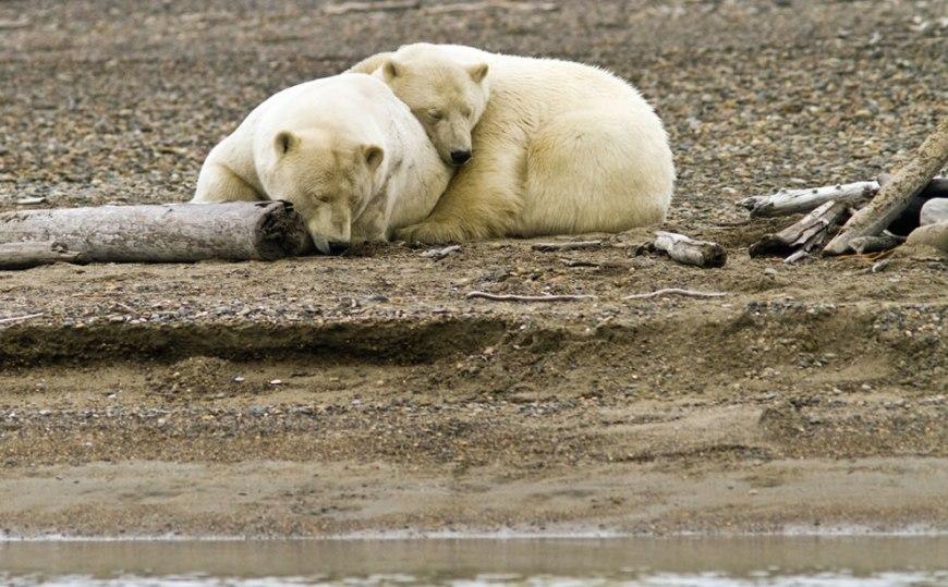 Cuddling polar bears in Kaktovik, Alaska
