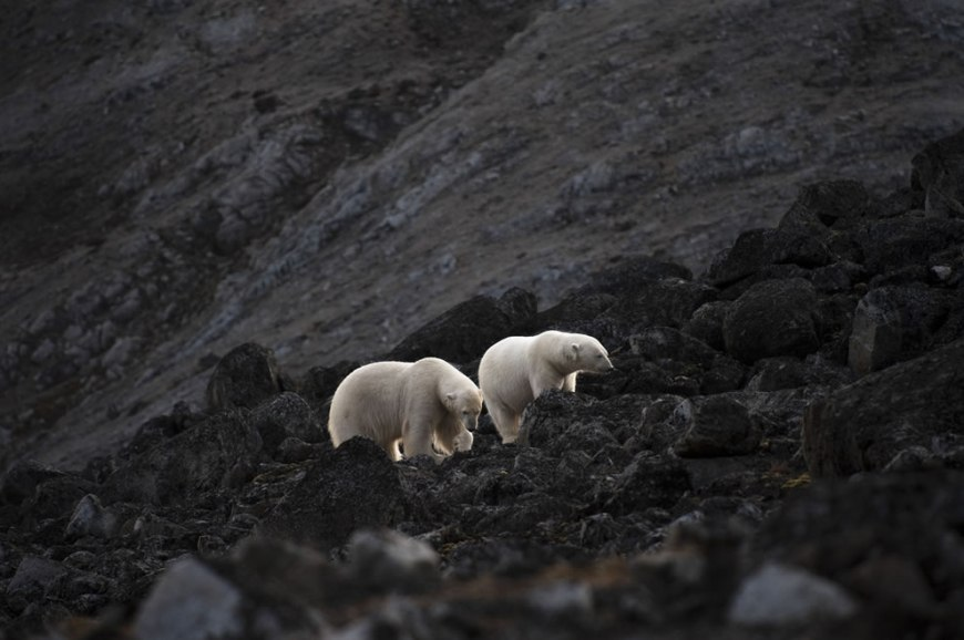 Fish Out of Water -- Svalbard Polar Bears