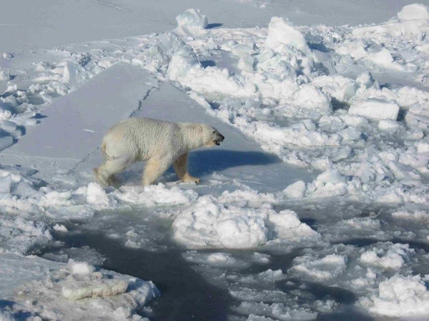 Male Polar Bear on Pack Ice