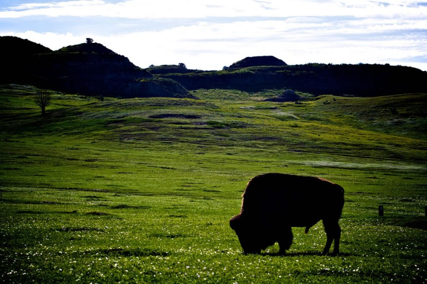 ornery bison