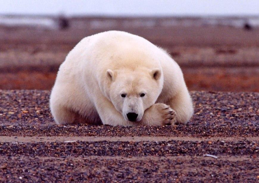 Polar bear resting but alert