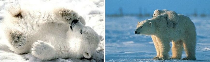 precious polar bear cubs