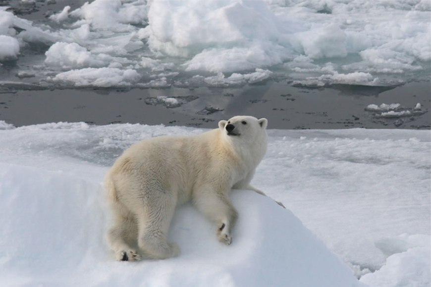 Sailing south, we meet wonderful polar bears on the ice