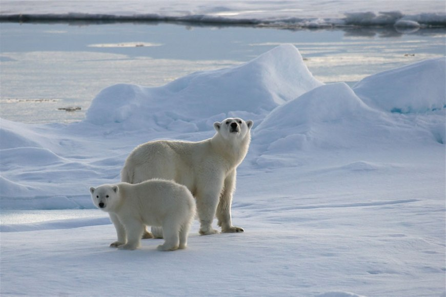 sniffing the air -- IJsberen op Spitsbergen -- Polar bears on Svalbard
