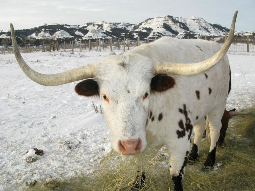 TRNP maintains a small group of longhorn steers
