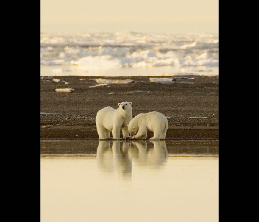 Two polar bears in the distance