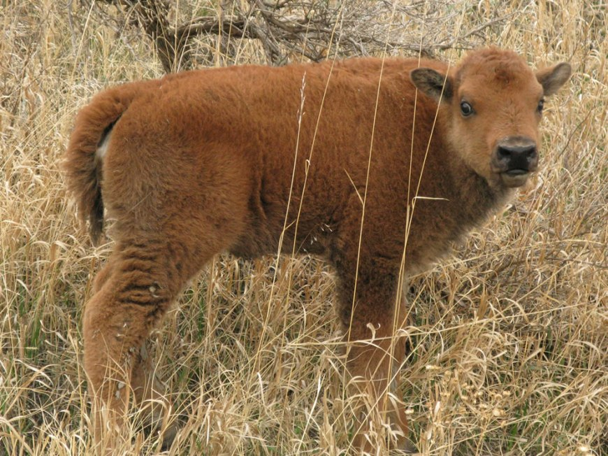 young bison calf at Theodore Roosevelt National Park