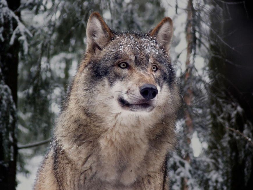 An Eurasian wolf (Canis lupus lupus — gray wolf), an example of the 'northern' wolf clade