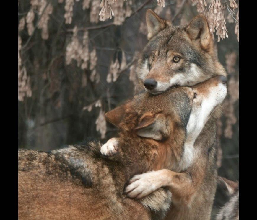 Big wolf hug