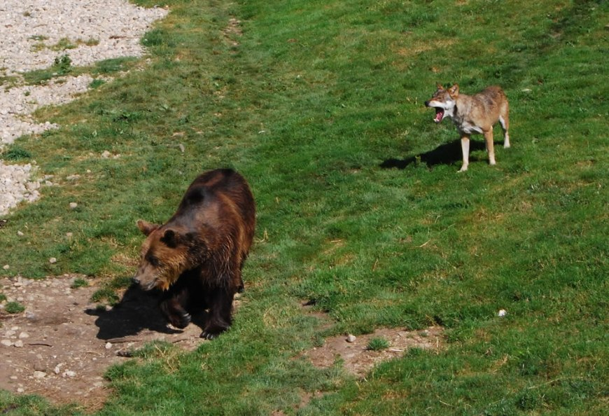 Brown Bear and Wolf (Canis lupus) in Juraparc, Vallorbe, Vaud, Switzerland