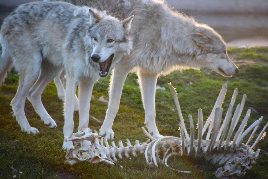 Gray wolves and bones -- My, what big teeth you have