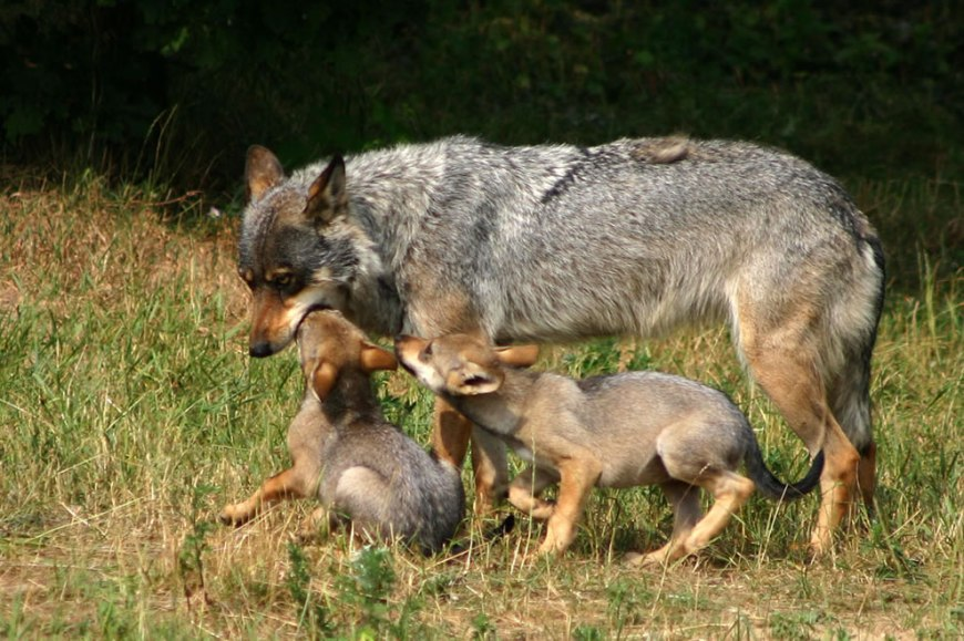 Momma wolf with pups
