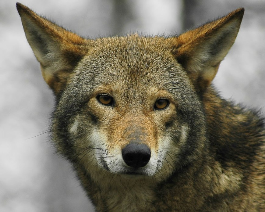 Red wolf up close and personal