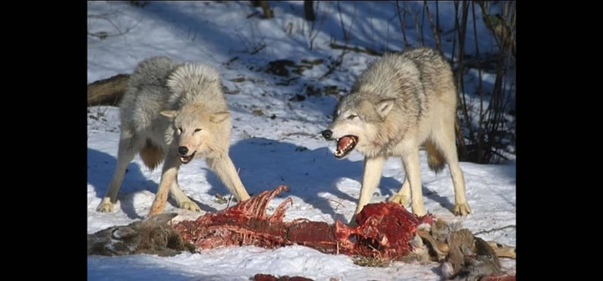 The Kill, 2 wolves chowing down on what used to be a deer