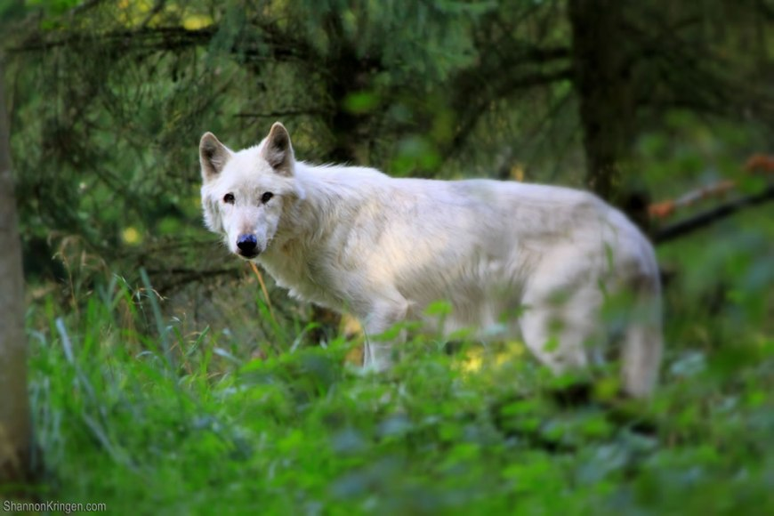 white wolf in the wild