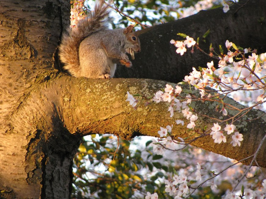 Breakfast -- squirrel was grabbing a quick bite to eat enjoying the cherry blossoms in Washington DC