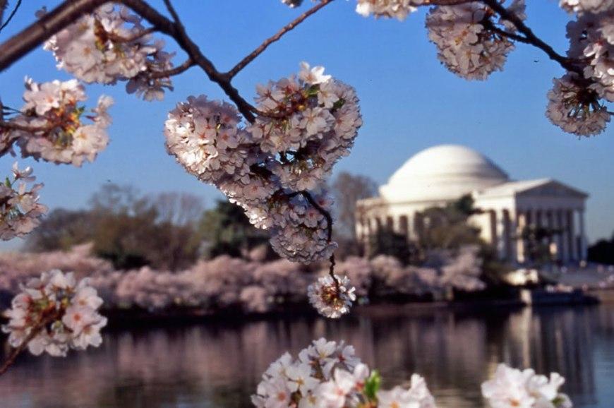 Cherry Blossom Festival Tidal Basin