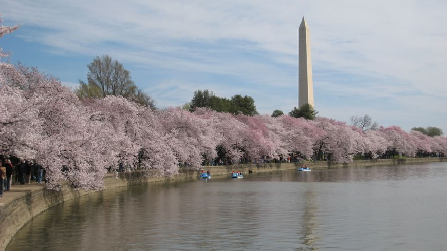 DC -- Hanami means, literally, 'flower viewing' but it has come to be associated specifically with the flowering of the cherry blossoms or 'sakura'