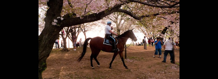 Horse and Cherry Blossoms around the Tidal Basin