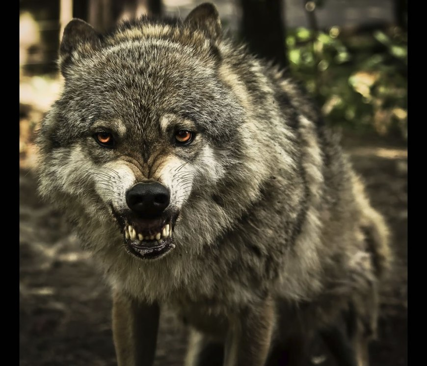 big, bad, beautiful snarling wolf