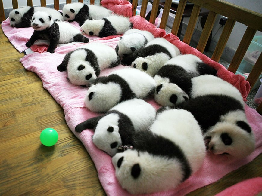 12 baby giant pandas in a crib