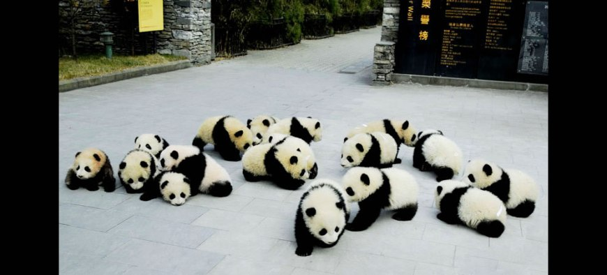 Giant panda cubs at Sichuan Giant Panda Sanctuaries