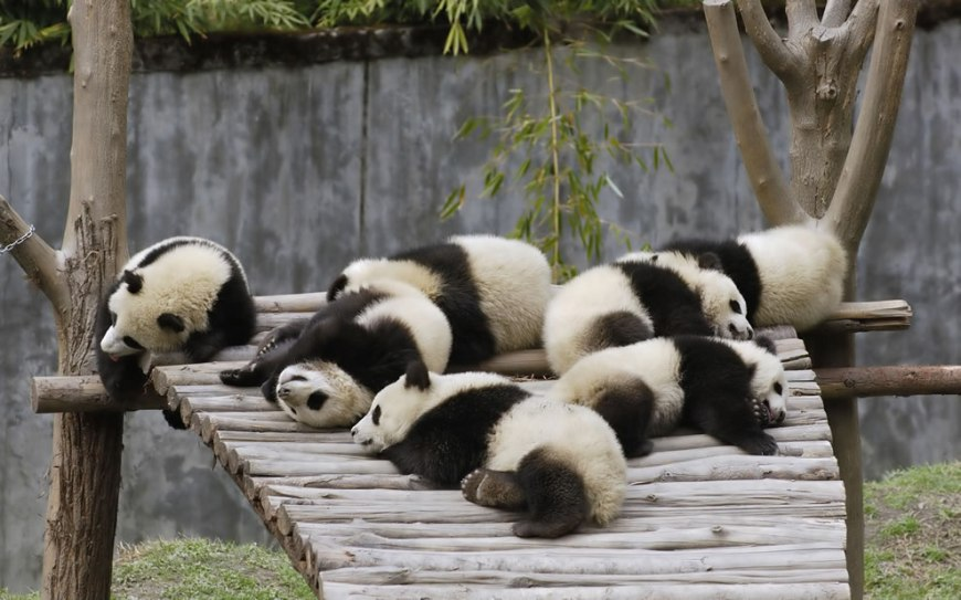 Giant Panda cubs at Wolong China