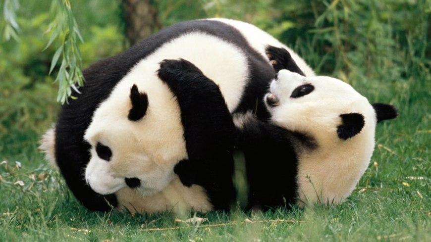 Giant pandas wrestling