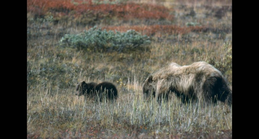 Grizzly bears, sow and cub in meadow