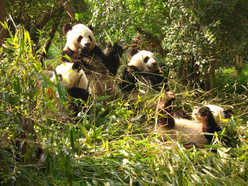 Group of Giant Pandas at Sichuan Giant Panda Sanctuary