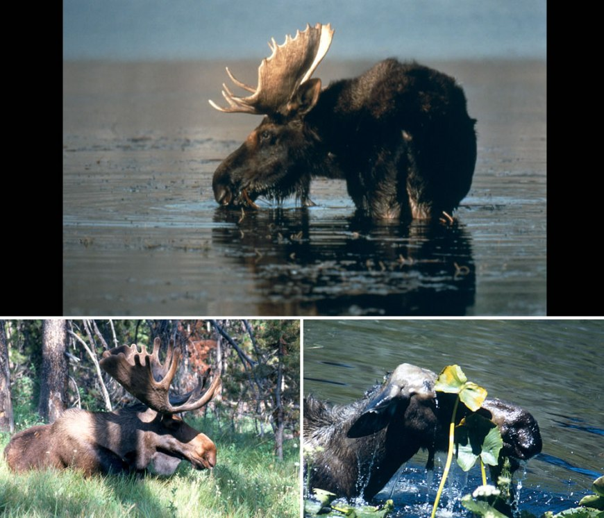 Moose in Grand Teton National Park