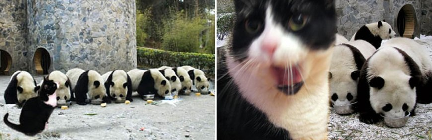 Panda's at Wonlong after the earthquake, and watching kitty apparently wanting some milk