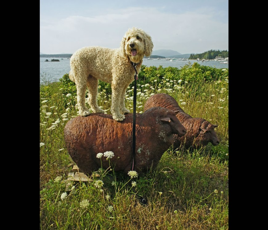 'Sheep' dog at Acadia National Park where dogs have fun too