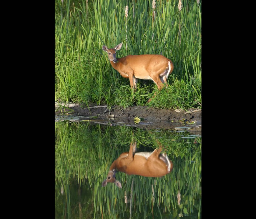 White-tailed deer pauses at water's edge of Beaver Marsh, a part of CVNP