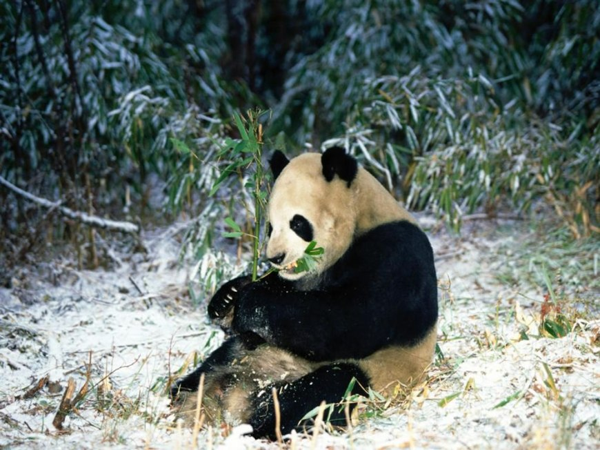 Winter Feast Giant Panda