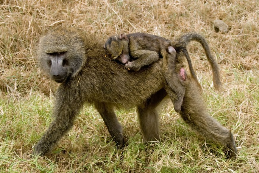 Baboon mother carrying her child in Kenya