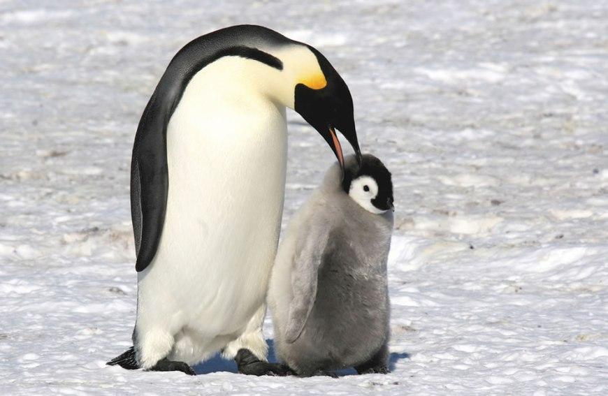 Emperor penguin telling her chick a secret