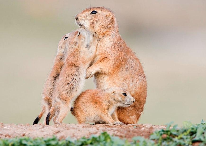 Prairie dogs loving on mom