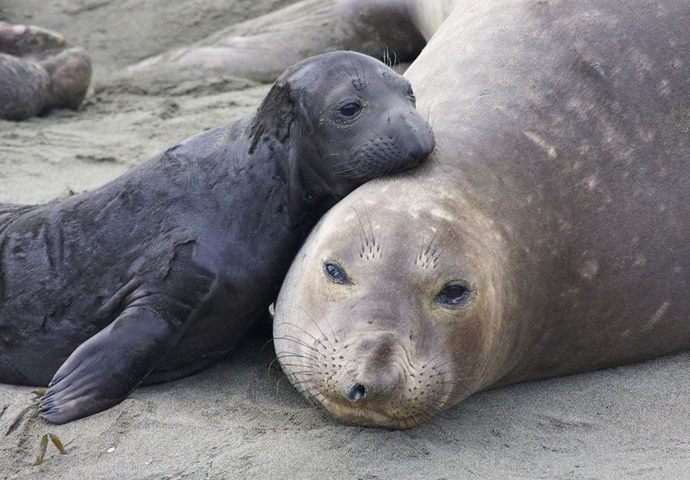 tender-moment-between-elephant-seal-cow-and-pup.jpg